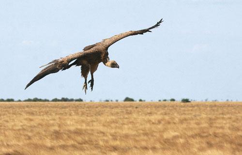 fugle i afrika