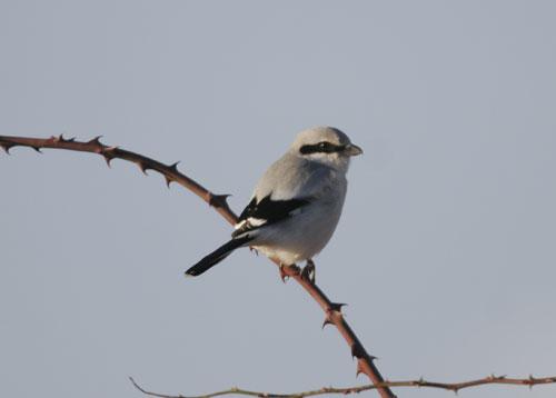 fuglearter i danmark