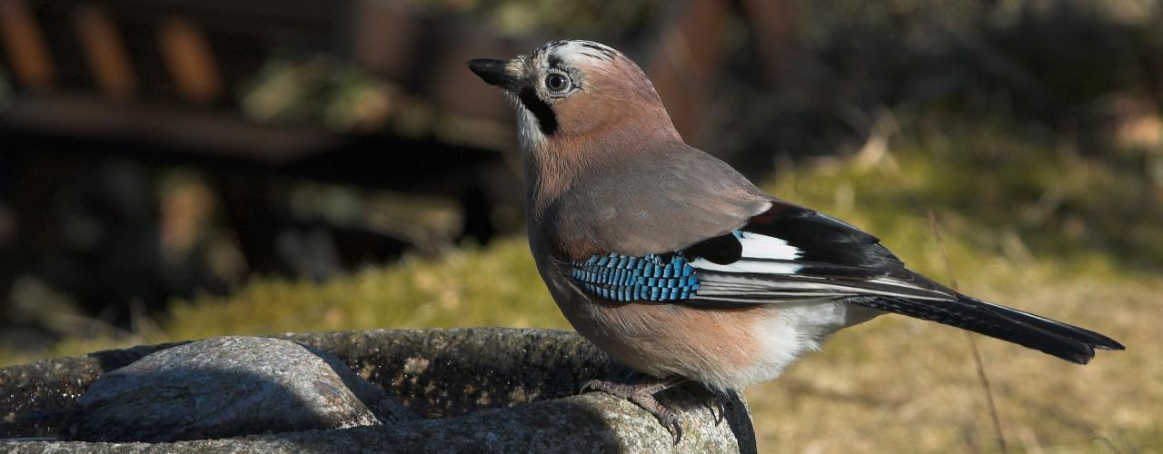 fodring af fugle forbudt