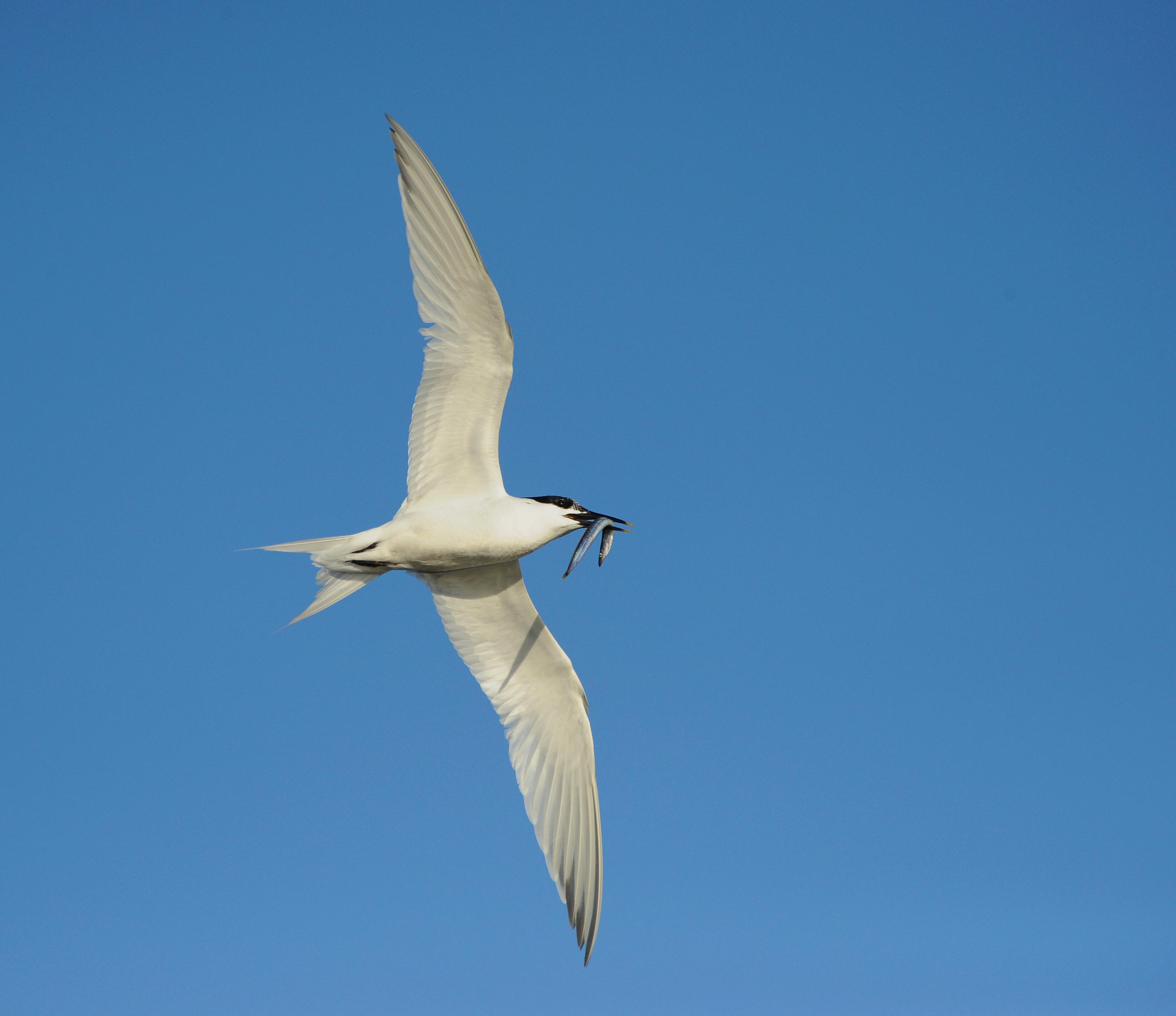 Terner til tælling på sandstrande og revler